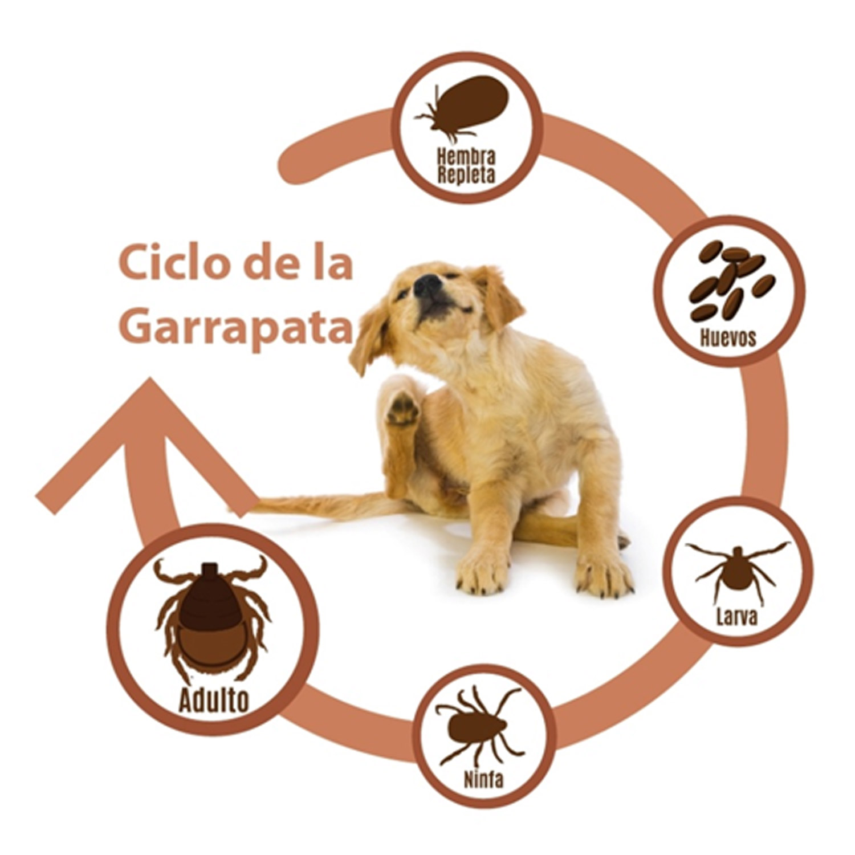 Ciclo de Vida Garrapatas MascotasOnline