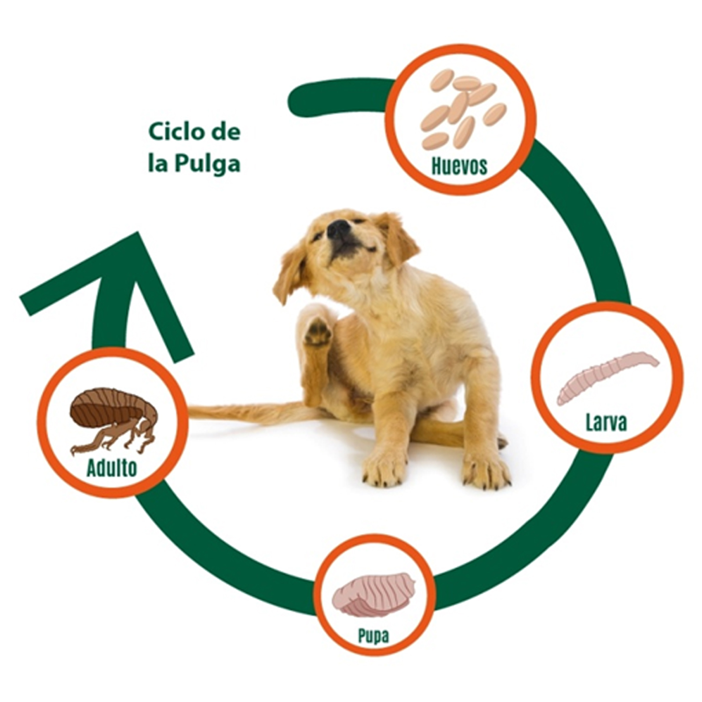 Ciclo de Vida Pulgas Mascotas Online